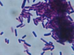 El lactobacilo es un micro-organismo presente en la vía-gastrointestinal, relacionado con la síntesis de enzimas y vitaminas.