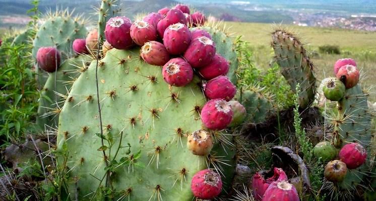 Los aztecas empleaban el nopal en muchos preparados medicinales