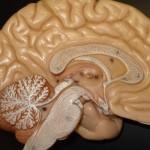 Una alimentación que combine correctamente todos los nutrientes necesarios ayudará a que las neuronas funcionen mejor.