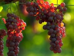 La uva resulta favorable para el cuidado del corazón y las arterias