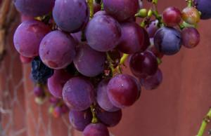 Los compuestos activos del resveratrol pueden aumentar el metabolismo de la glucosa, lo que reduce la necesidad de insulina.